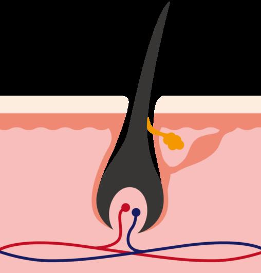 毛の断面図